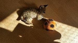 Serval Nachwuchs beim Spielen