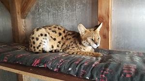 Servalzucht in NRW Katzen