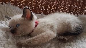 Amy unsere Siam Katze