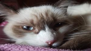 Ragdoll Katze blaue Augen und schöne Fellzeichnung