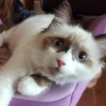 Ragdoll Kitten abzugeben