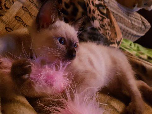Siam Katzenbaby Amy