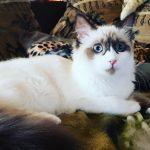 Ragdoll Katze aus eigener Zucht