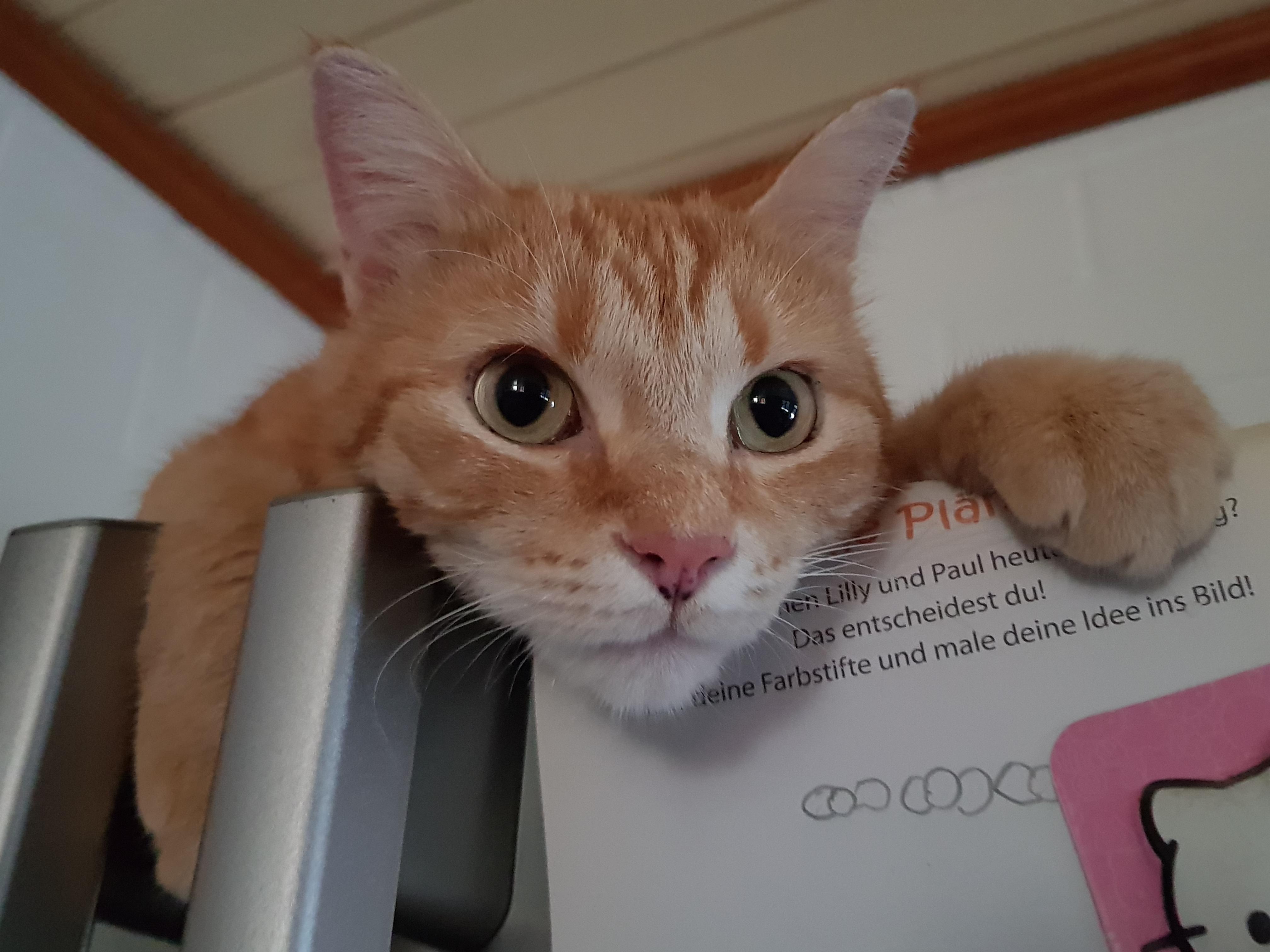 Hauskatze auf dem Kühlschrank