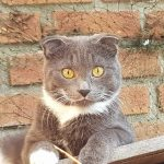 Katze scottish fold draußen