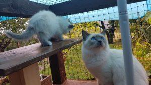 Heilige Birma Katzen Kater und Kitten