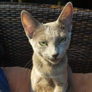 Russisch Blau Kätzchen sitzt auf einem Stuhl
