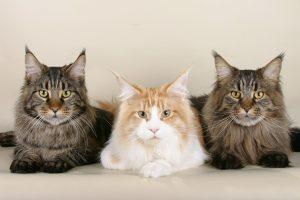 Maine Coon Katzen können unterschiedliche Fellfarben aufweisen