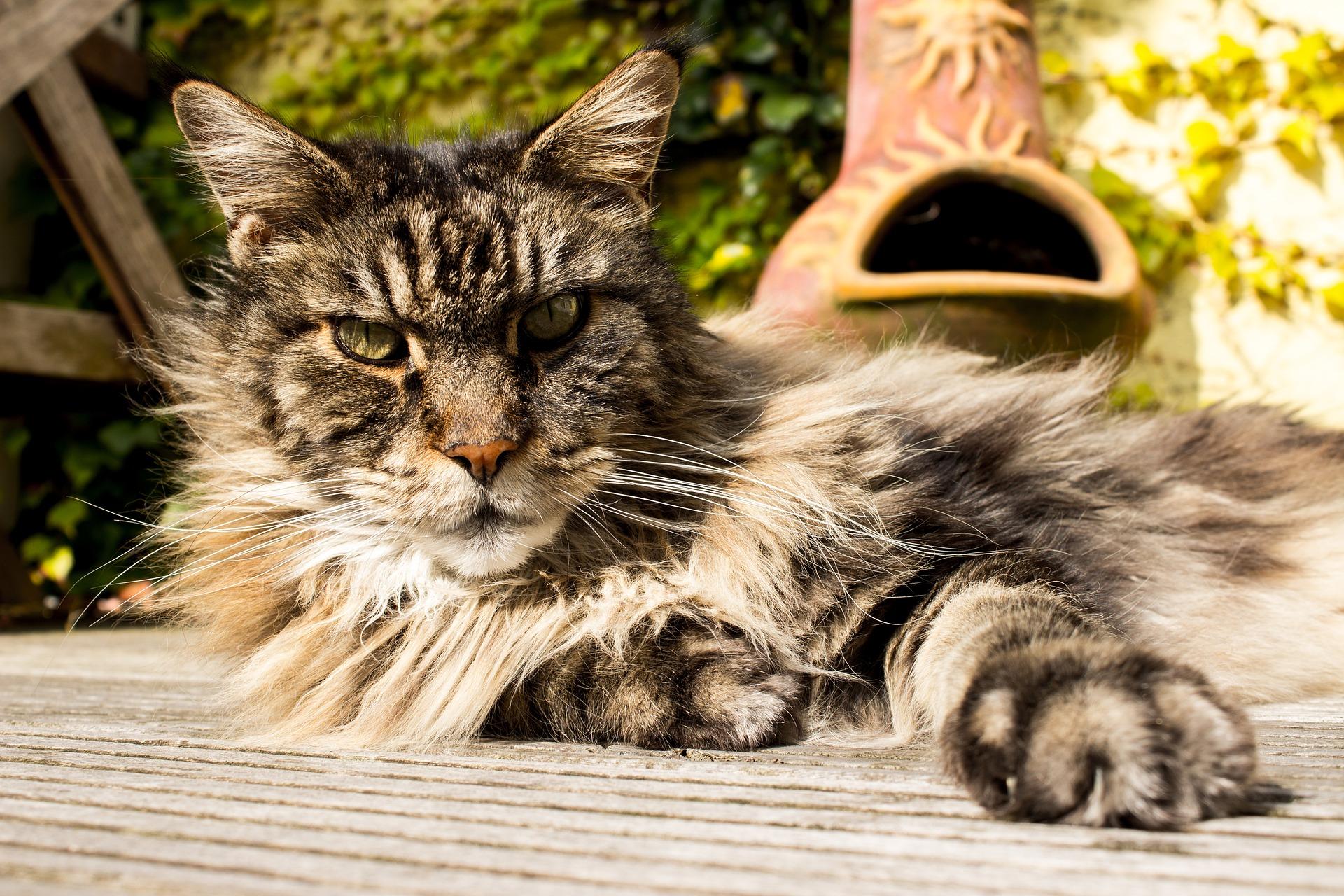 Maine Coon - Die XXL Katze - Elitekatzen